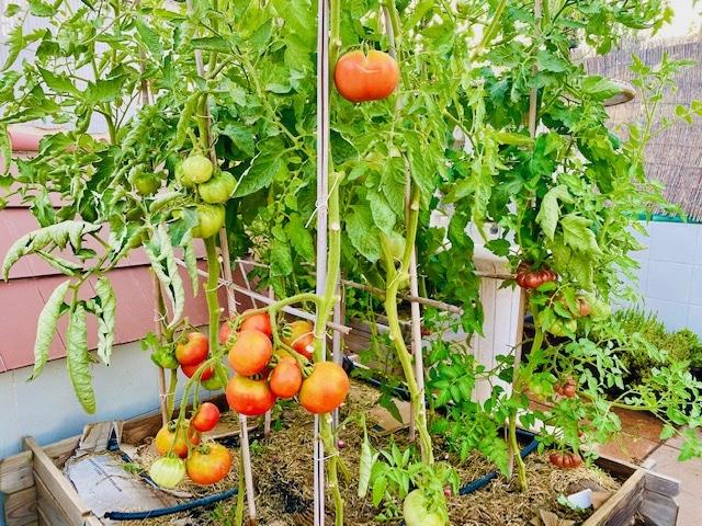 Tomates cultivados en cajón