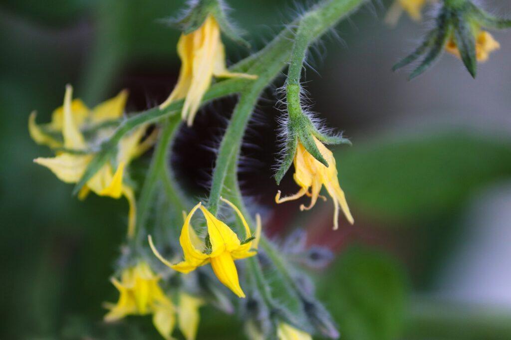 Detalle flor del tomate