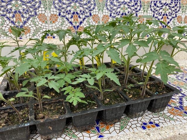 Semillero de tomates