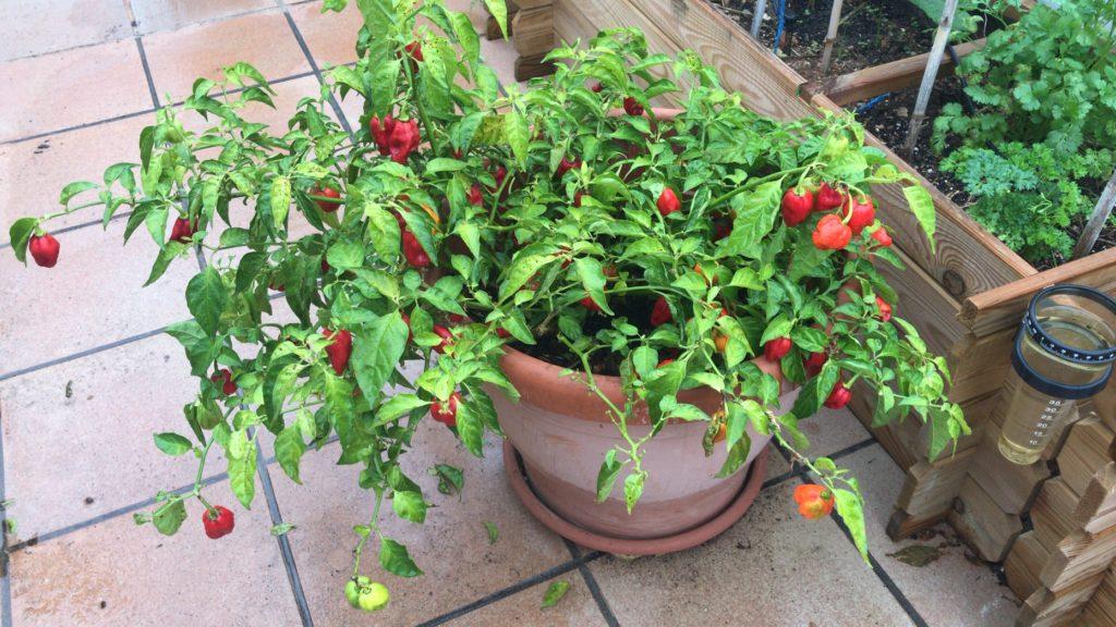 Planta de chile habanero cargada de frutos
