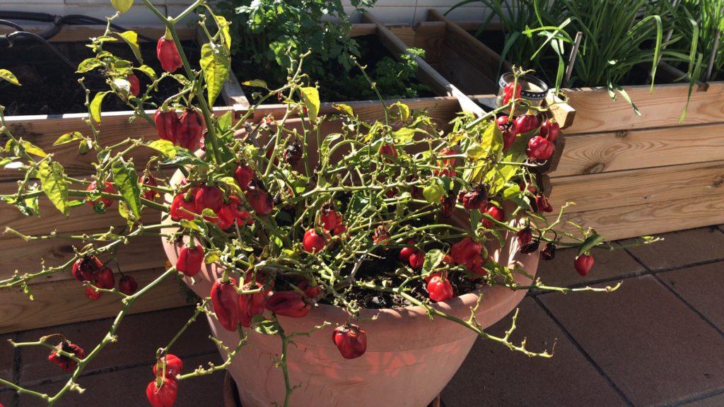 Planta de chile habanero al final del verano