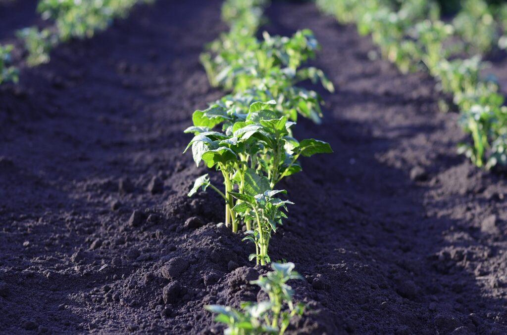 Cultivar patatas en bancales