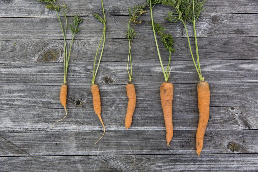 crecimiento de la zanahoria